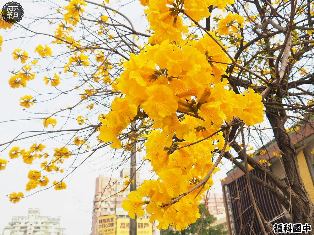 20180307230459 27 - 一次能捕捉到盛開的櫻花與黃花風鈴木耶~市區內賞花小確幸~