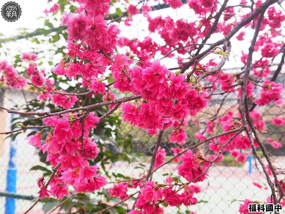 20180307230820 77 - 一次能捕捉到盛開的櫻花與黃花風鈴木耶~市區內賞花小確幸~