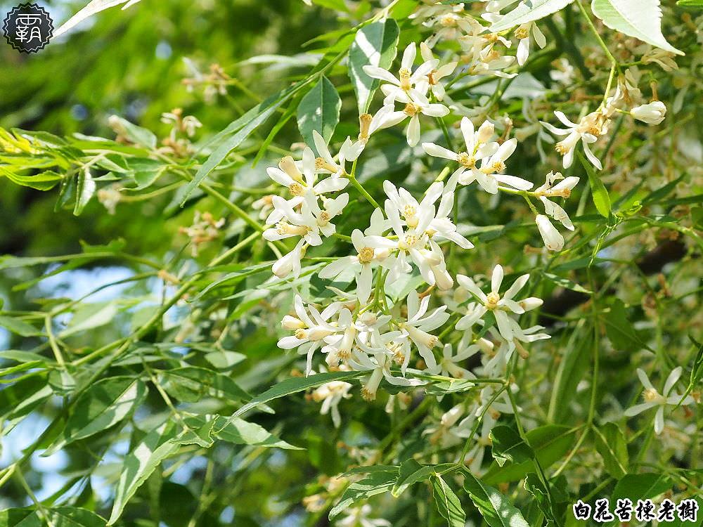 20180328224856 23 - 台中苦楝王,白花苦楝老樹花開正盛,好像一朵白花菜哦哦哦~