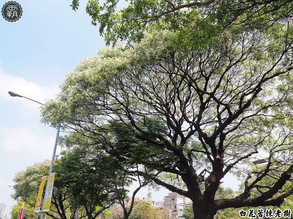 20180328225029 5 - 台中苦楝王,白花苦楝老樹花開正盛,好像一朵白花菜哦哦哦~