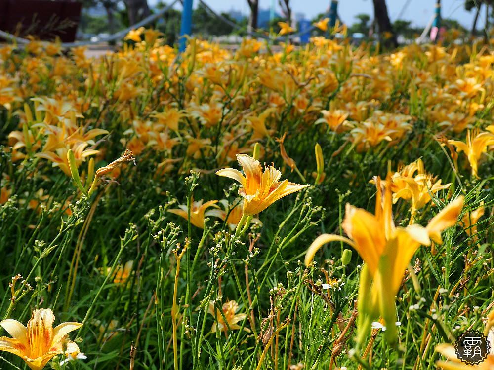 20180526182707 2 - 海線追金針花,藍天搭配盛開的黃色金針花海,美不勝收的拍照小景點~