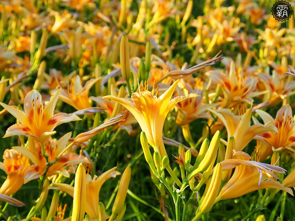 20180526182917 31 - 海線追金針花,藍天搭配盛開的黃色金針花海,美不勝收的拍照小景點~