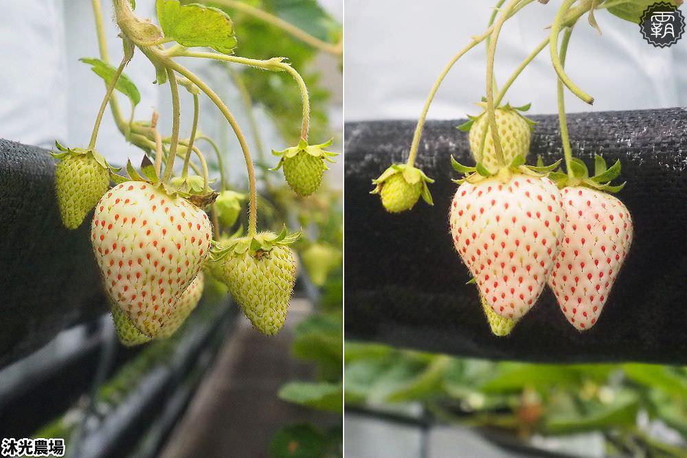 20190405214543 8 - 白草莓、水蜜桃草莓好特別!沐光農場,溫室高架草莓園,採草莓超舒適!