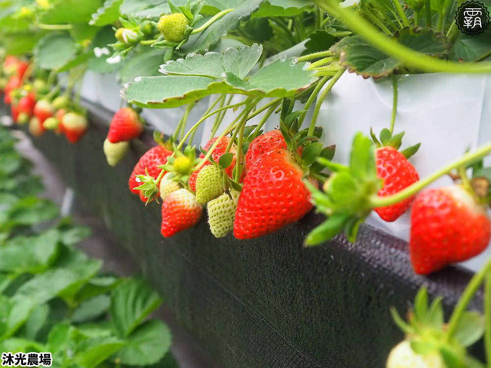 20190405214546 86 - 白草莓、水蜜桃草莓好特別!沐光農場,溫室高架草莓園,採草莓超舒適!