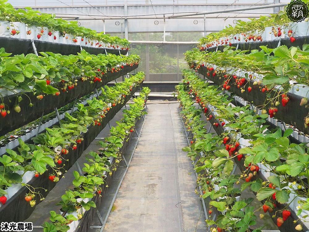 20190405214840 44 - 白草莓、水蜜桃草莓好特別!沐光農場,溫室高架草莓園,採草莓超舒適!