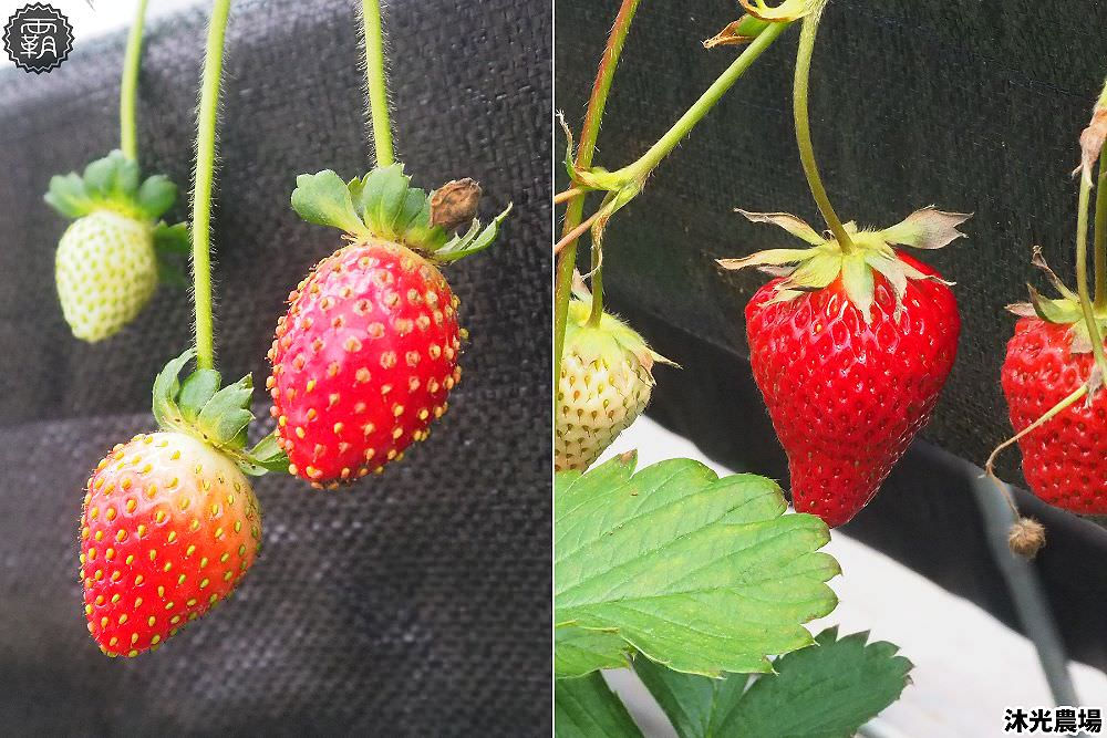 20190405215223 99 - 白草莓、水蜜桃草莓好特別!沐光農場,溫室高架草莓園,採草莓超舒適!